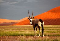 Gemsbok Oryx gazella, in the desert, Namib-Naukluft National Park, Namib desert, Namibia
