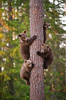 Four cubs uploaded to a tree, Ursus arctos arctos, European brown bear, Martinselkonen Nature Park, region of Kainuu, Finland, Scandinavia, Europe