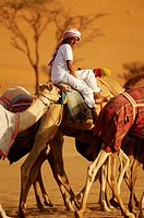 Middle East, Oman, desert of Wahiba, kids training race camels bedouins.