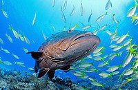 Black grouper, Bahama Bank, Caribbean