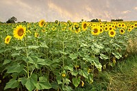 Sunflowers, Colle Val d´Elsa landscape, Siena, Tuscany, italy