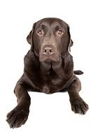 Shot of a Chocolate Labrador Retriever against White Background