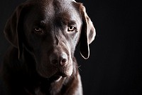 Low Key Shot of a Sad Looking Chocolate Labrador Puppy