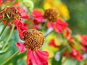 Helenium autumnale flowers