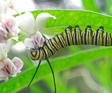 Caterpillar of the Monarch butterfly, Danaus plexippus, eating leaves and flower buds of the Swan Plant Milkweed, also called Tennis Ball Bush, Asclep...