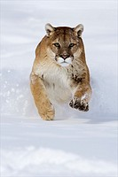 North America, USA, Montana  Cougar captiverunning through snow