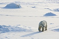 North American, Canada, Manitoba, Churchill, Cape Churchill  Polar Bear walking the frozen tundra