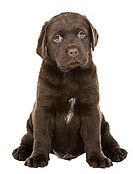 Shot of a Chunky Chocolate Labrador Puppy