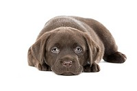Ultra Cute Shot of a Six Week Old Chocolate Labrador Puppy