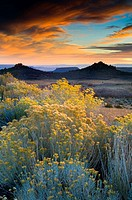 Sunset light over Rabbitbrush on the high desert plateau along the Kolob Terrace, near Zion National Park, Utah