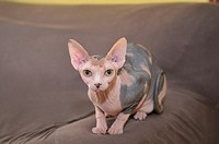 Sphynx cat breed hairless breed