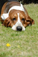 Dog Breed Basset Hound Lying