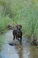 Braco German hunting in water, German race sample hunting pointer type