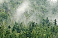 forested hillside with low stratus cloud, Montague Harbour, Galiano island, British Columbia, Canada