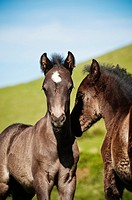 Two Welsh mountain pony foals playing together, Hay Bluff, Wales