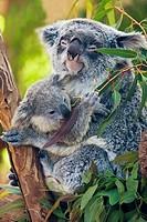 Baby Koala Joey eating