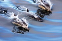 Three Common Dolphins in glassy water