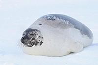 Harp Seal (Phoca groenlandica), female, resting on pack ice, Magdalen Islands, Québec, Canada