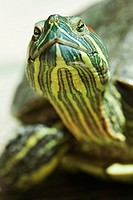 red-eared slider,Trachemys scripta elegans, thirteen years old adult female