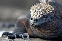Marine Iguana (Amblyrhynchus cristatus), Espagnola Island, Galapagos Islands, Ecuador.