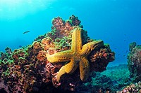 Yellow sea star on a rocj, underwater view, Ecuador, Galapagos Archipelago, Espanola Island
