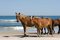 Wild horses that roam the beaches of Carolla, NC, USA