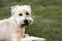 A Soft Coated Wheaten Terrier looking quizzical  The photograph is of the Photographer´s pet
