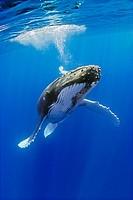 humpback whale, Megaptera novaeangliae, blowing bubbles, Hawaii, USA, Pacific Ocean