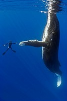 humpback whale, Megaptera novaeangliae, and diver, reaching out for a physical contact, Pacific Ocean