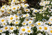 Shasta Daisy Leucanthemum x superbum, Lleida, Catalonia, Spain