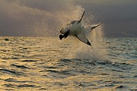 Great White Shark (Carcharodon carcharias), Seal Island, False Bay, South Africa