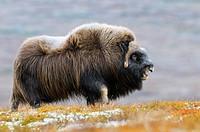 Muskox (Ovibos moschatus), Bull, Dovrefjell-Sunndalsfjella National Park, Norway, Scandinavia, Europe, Autumn, Fall