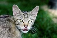 Wild Cat Felis silvestris, portrait of animal, Germany