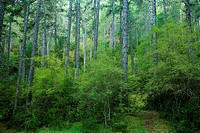Scots pine Pinus sylvestris in the Natural Park of the Serrania de Cuenca