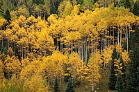 Forest of golden aspens with white trunks on Wilson Mesa near Telluride, Colorado