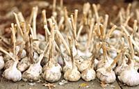 Organically grown garlic  Scientific name: Allium sativum