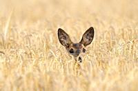 Roe deer in grain field, Capreolus capreolus, Summer, Germany, Europe