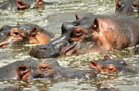 Hippopotamus Hippopotamus amphibius