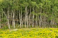 Trembling aspen woodlot at edge of meadow filled with goldenrod