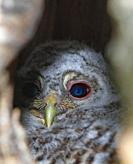 Ural Owl in nest Värmland Sweden.