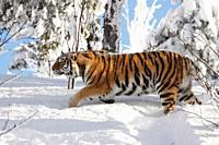 Siberian tiger / Amurtiger Panthera tigris altacia Dalarna Sweden.