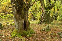 Autumnal forest  O Courel Mountains, Lugo, Galicia, Spain