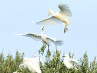 Cattle Egret Bubulcus ibis adult and young flying at S´albufera, Majorca, Spain
