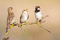 Family of House Sparrow Parus domesticus on a branch, Majorca, Spain