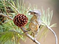 Crossbill Loxia curvirostra eating seeds from a pine fruit, Escorca, Majorca, Spain