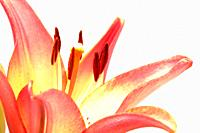 Close-up of a lily in bloom
