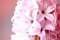 Highly Fragranced Pink Hyacinth