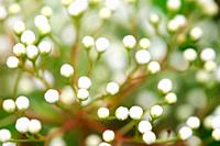Charming Pyracantha Buds in Spring
