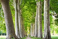 Allée of plane trees