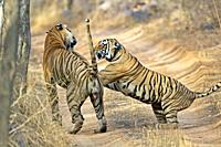 Royal Bengal Tiger Panthera tigris tigris Ranthambhore National Park Rajasthan India endangeRed mating behavior